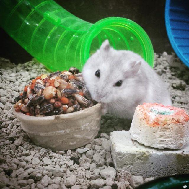 hamster hamsterchines massacote